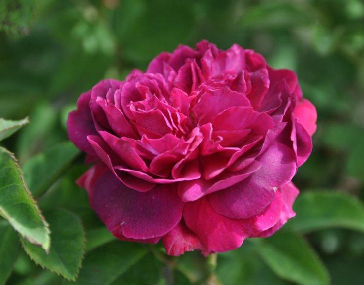 Розы Альфред Коломб