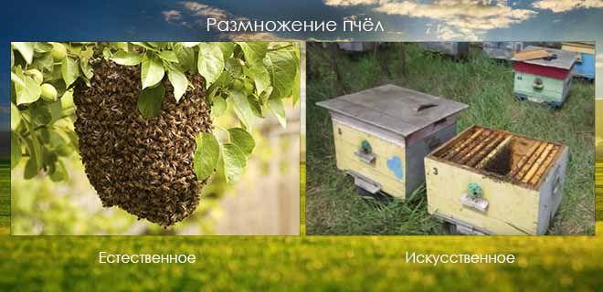 Размножение пчелиных семей: искусственное и естественное