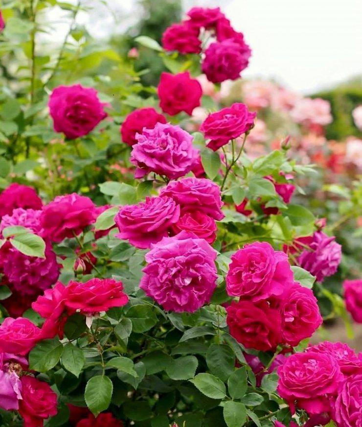 Розы Эжен Фюрст