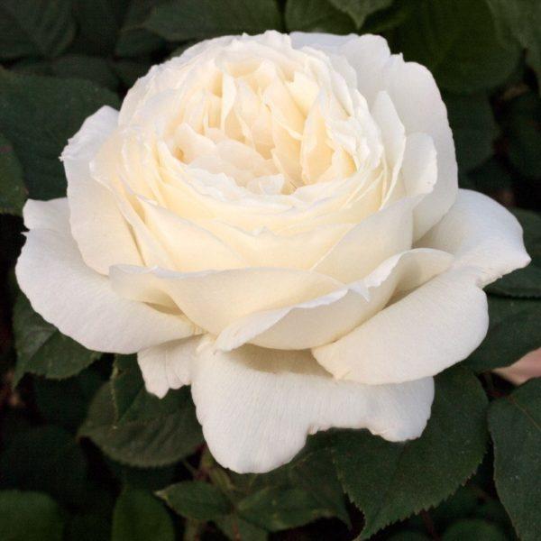 Роза Пакс