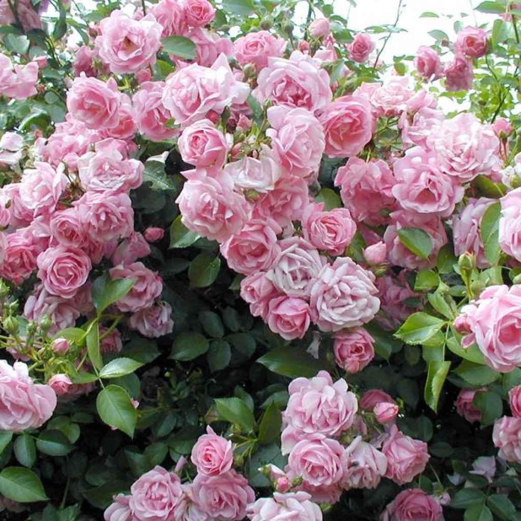 пример применения необычных роз в дизайне двора
