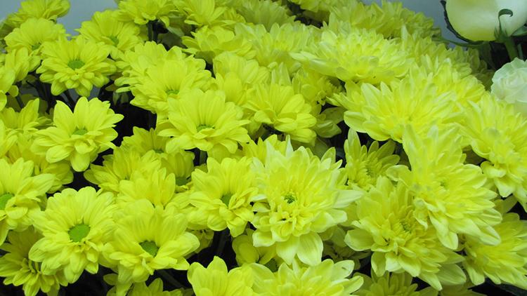 Хризантемы Венечная