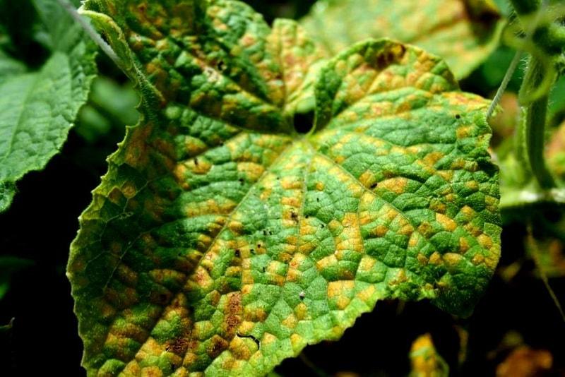 почему начали желтеть листья у огурцов