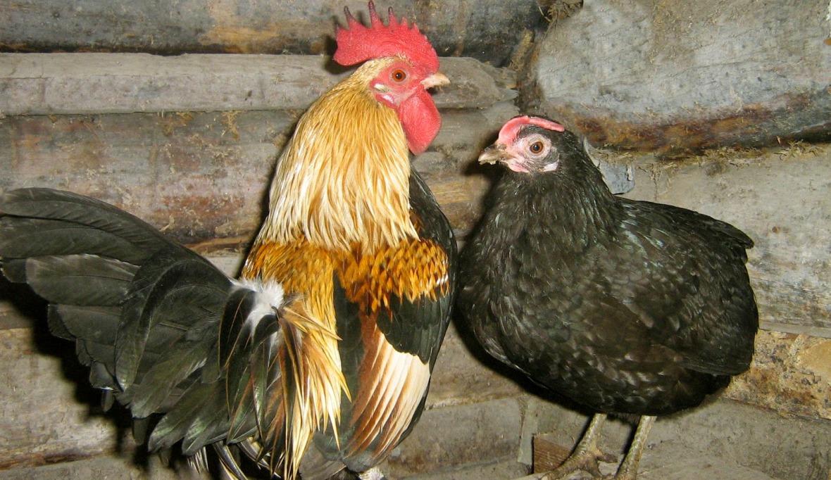 Карликовые породы кур