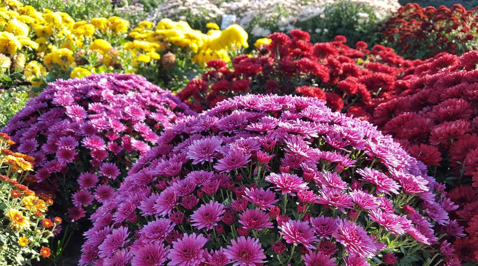 Хризантемы с повышенной плотностью цветения
