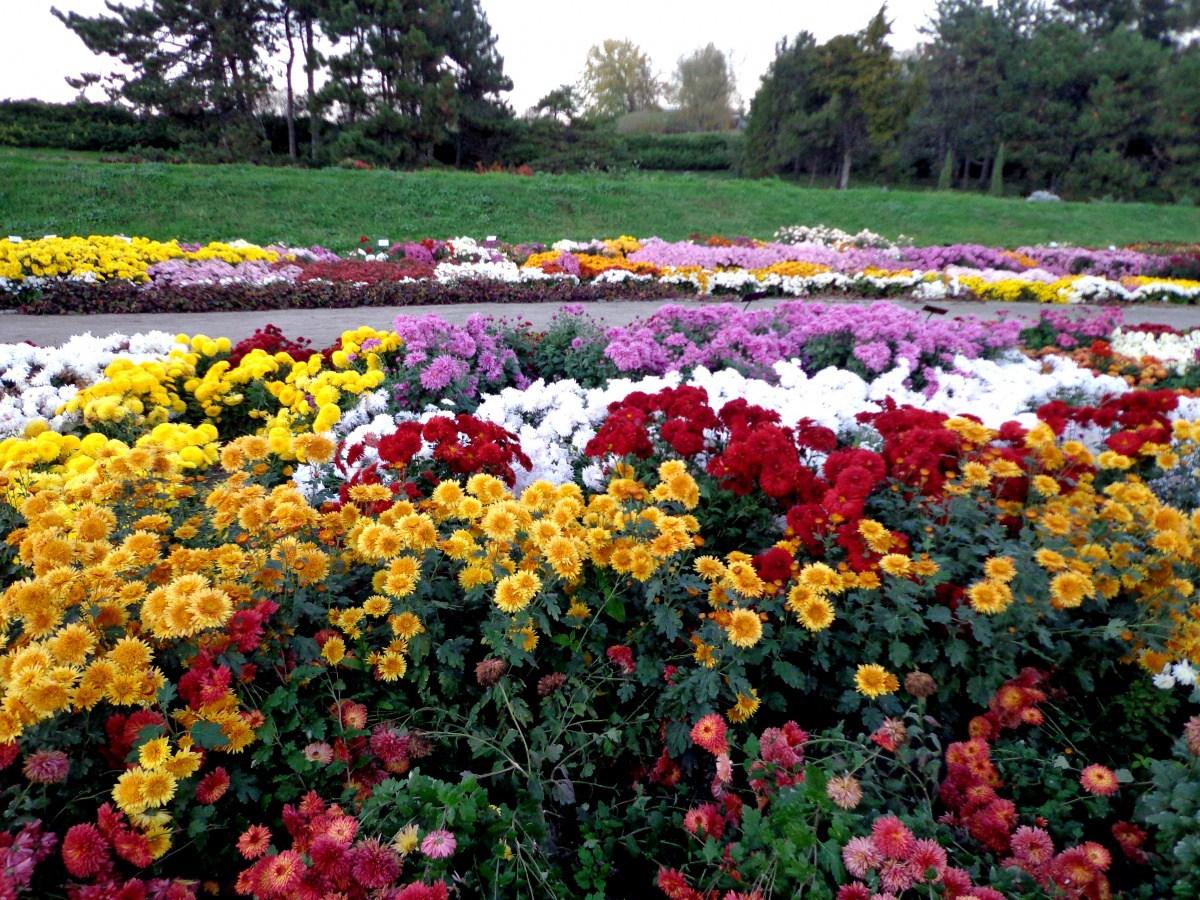 Разноцветные цветущие хризантемы