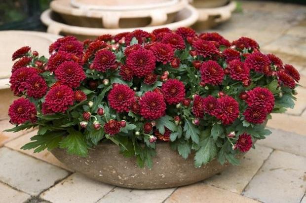 Бордовые цветы хризантемы