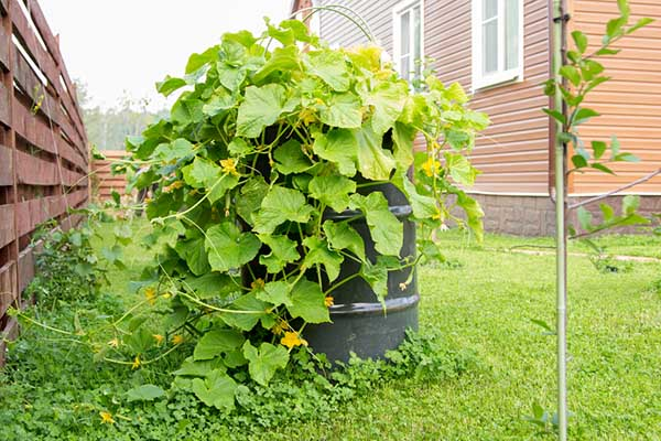Как посадить и ухаживать за огурцами в бочках