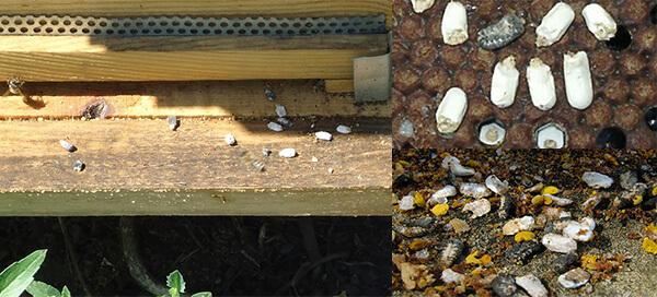 аскофероз пчел