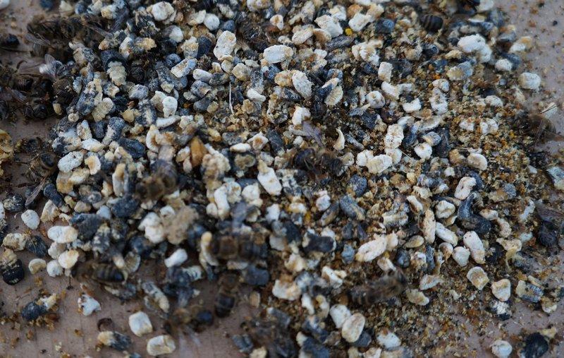Погибшие от аскосфероза пчелы и расплод