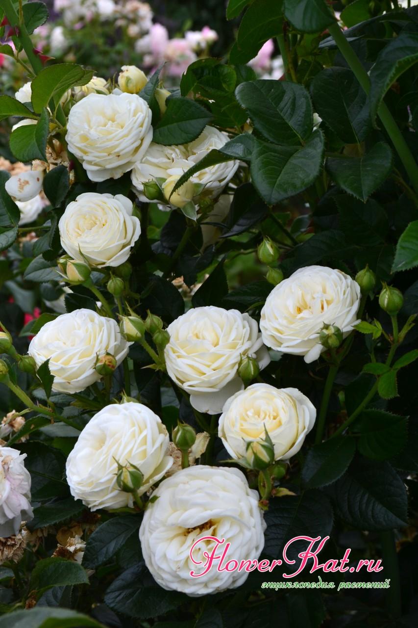 Сочетание цветов у розы шраба Артемис
