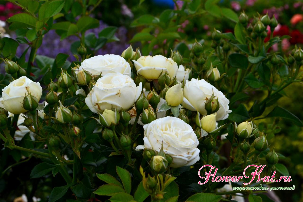 Начало цветения розы шраба Artemis