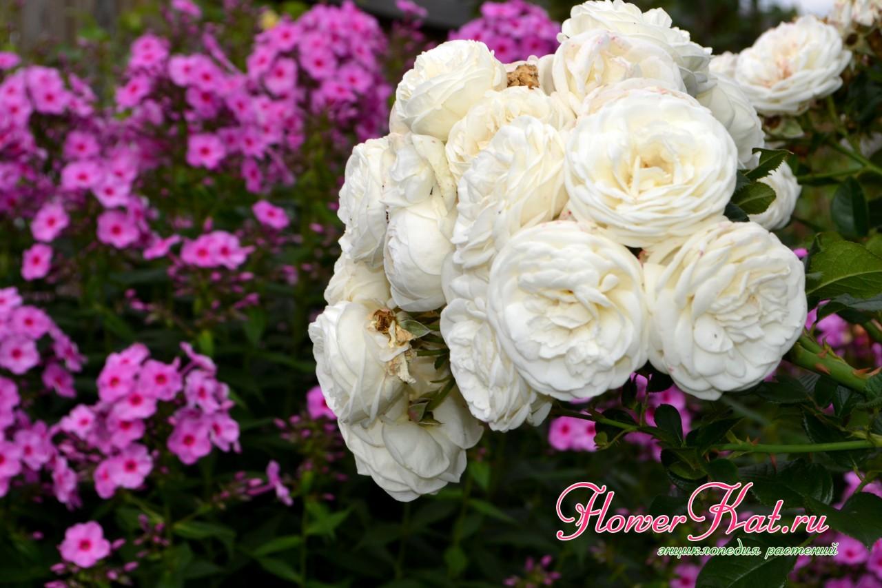 Роза Artemis обильно цветет белыми шапками