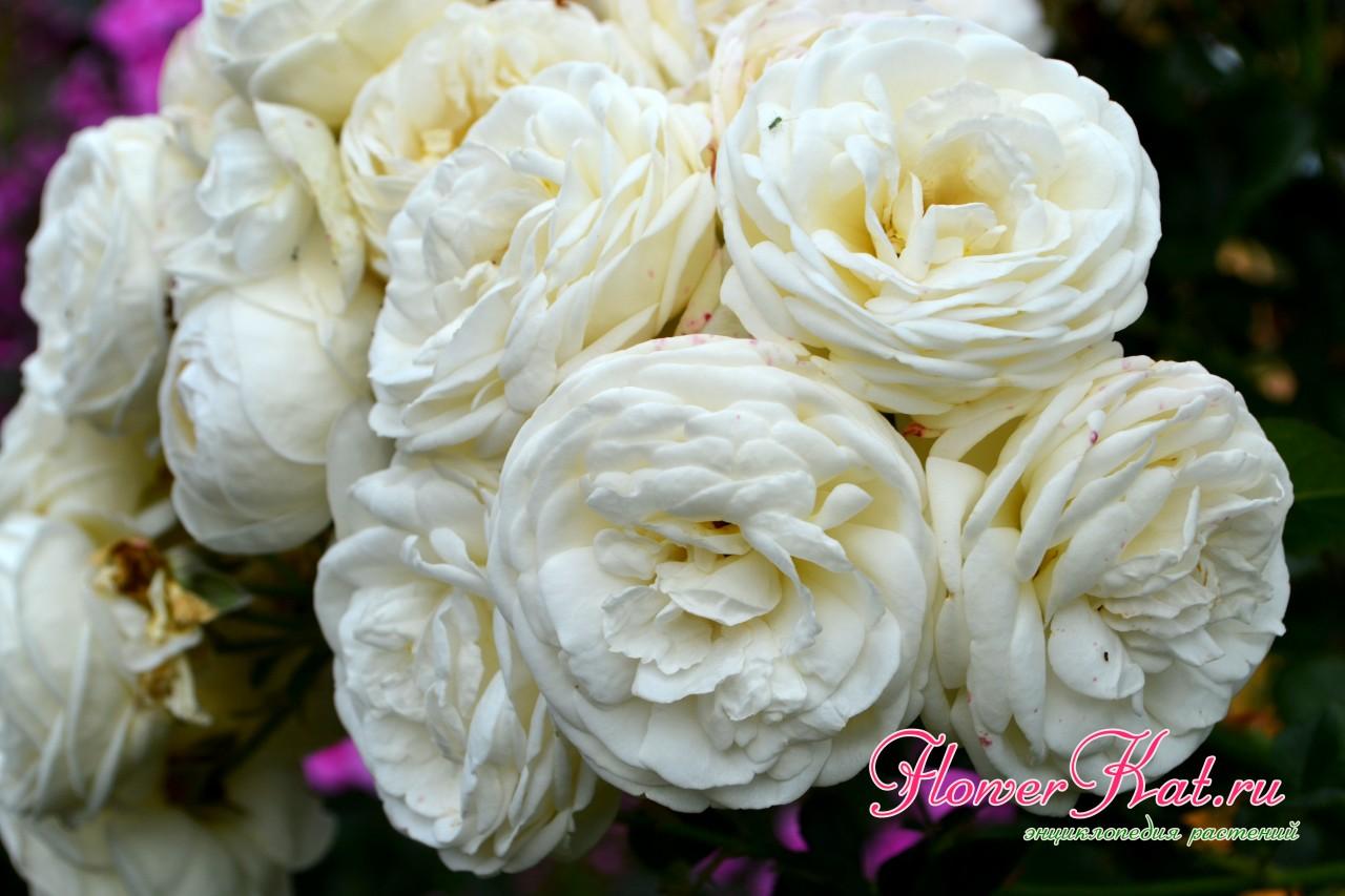 У розы шраба Артемис очень красивые плотные соцветия