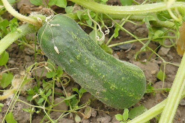 Как сажать огурцы семенами