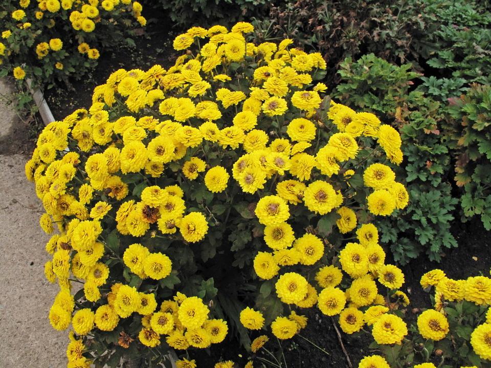 Жёлтые теплолюбивые хризантемы