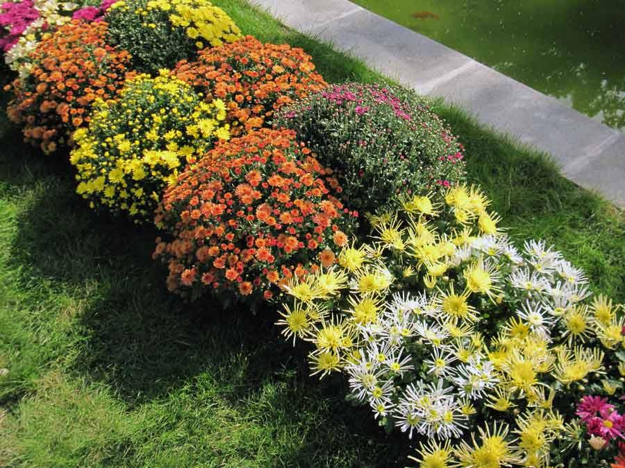 Кустовые хризантемы на газоне