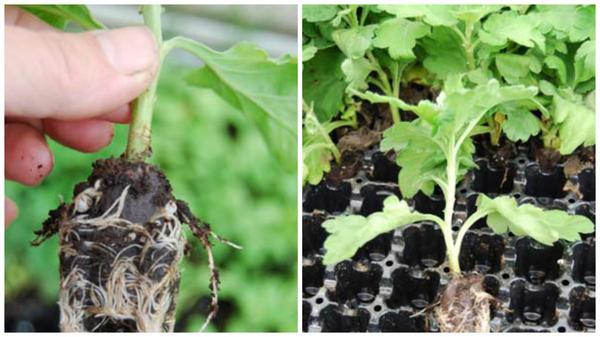 Черенки с развитой корневой системой