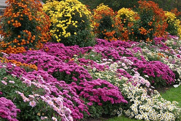 Высокорослые и низкорослые сорта хризантем