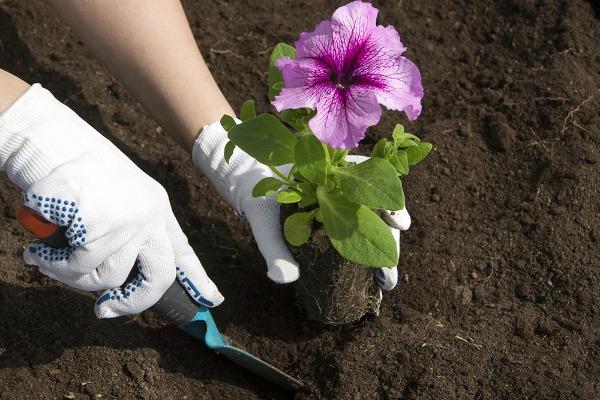 Когда пересаживать рассаду в открытый грунт