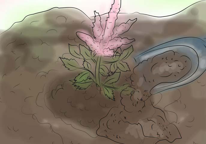 цветок астильба