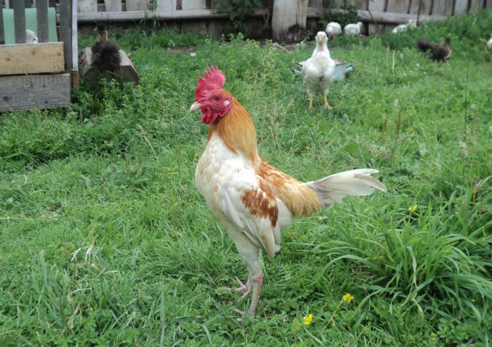 Карликовая новоанглийская курица
