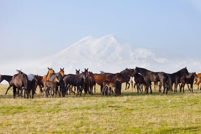 Табун карачаевской породы лошадей