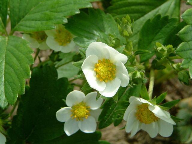 клубника цветет, но не плодоносит