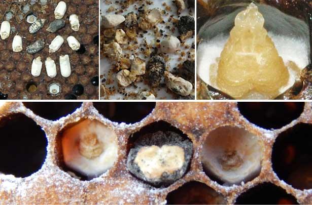 Визуальные симптомы аскосфероза пчел