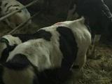 Телята в наличии Бычки и телочки мясных, молочных п