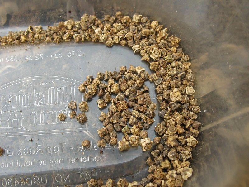 Семена свёклы