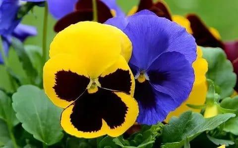 анютины глазки выращивание из семян
