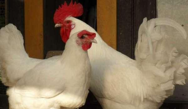 Белая бресс гальская порода кур