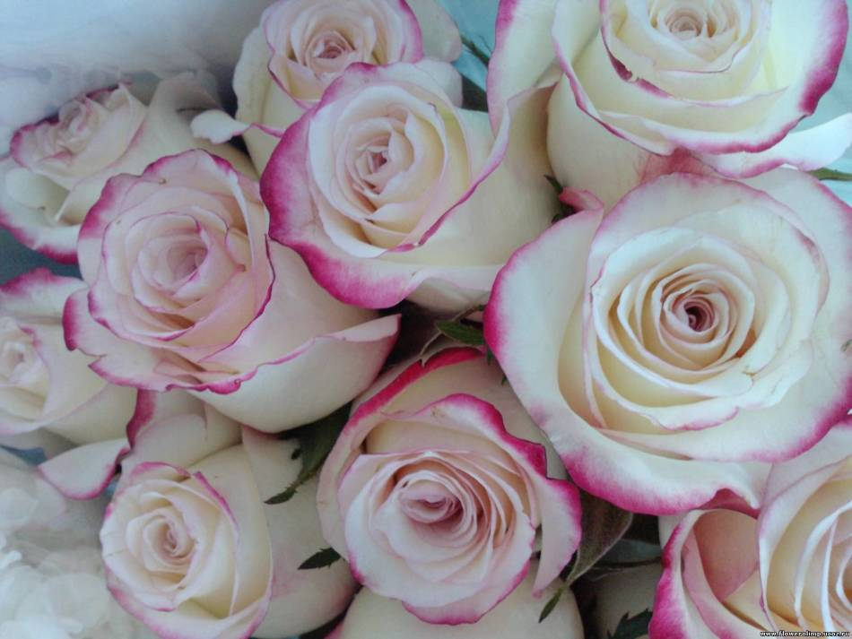 Белые розы с розовой каймой