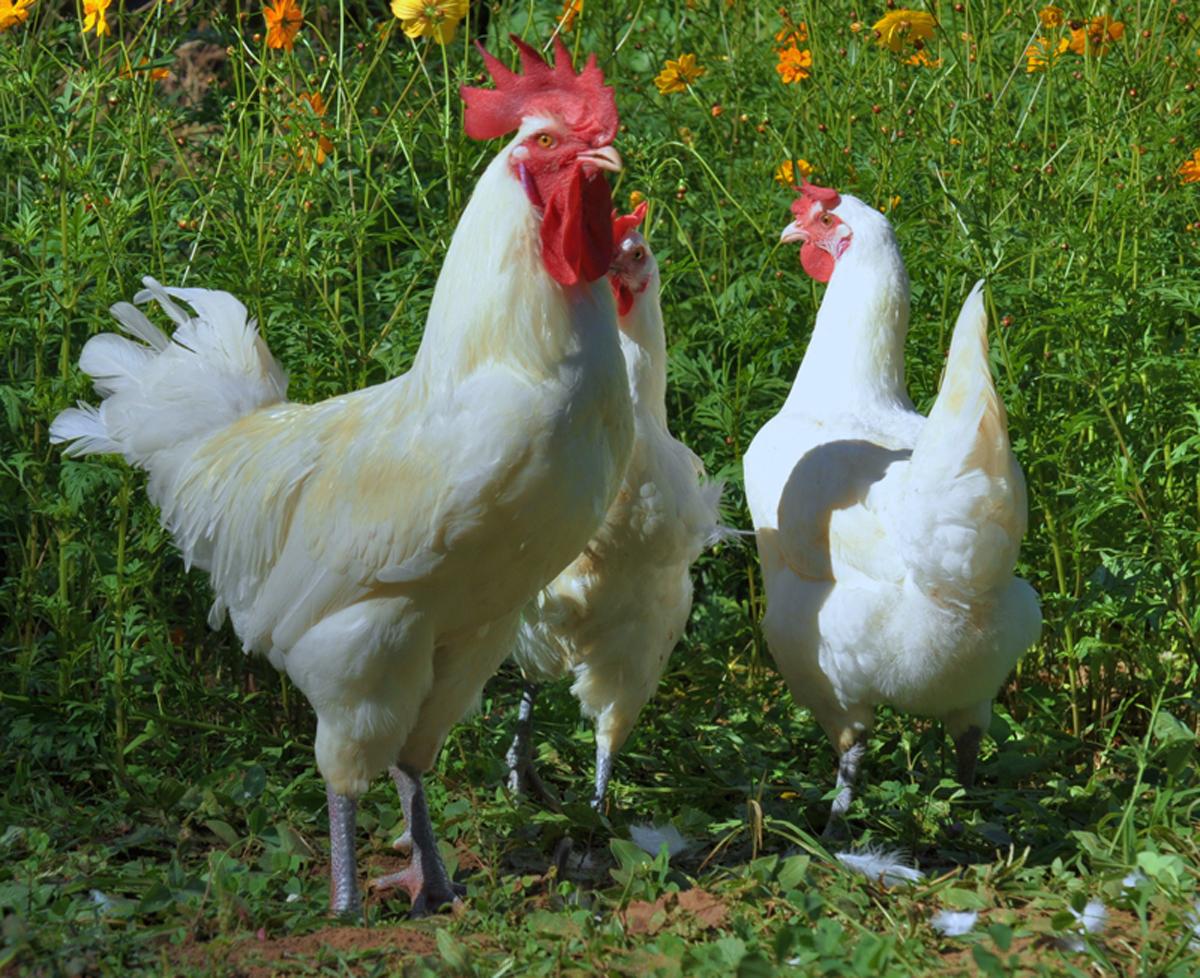 Бресс Гальская порода кур