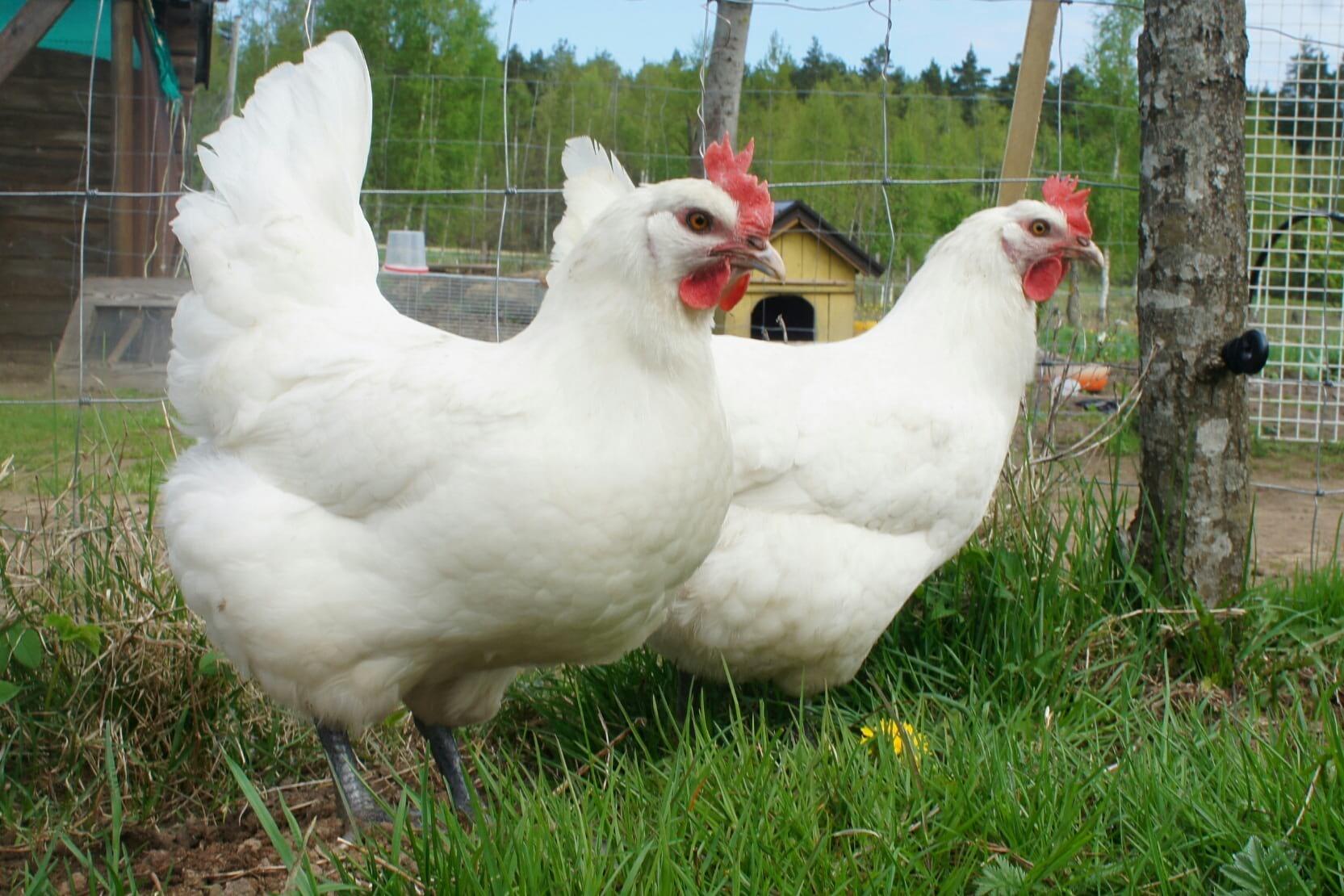 Белые куры