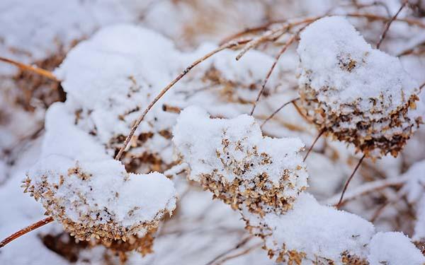 укрыть гортензию на зиму