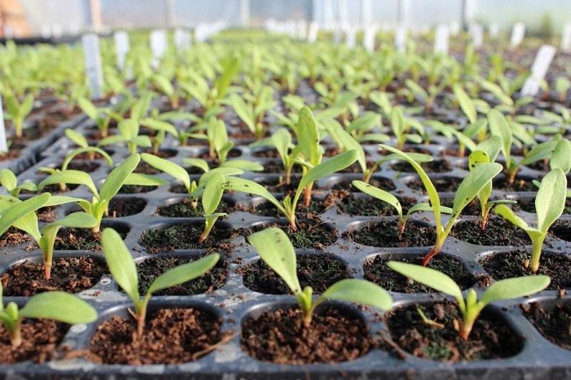 Схема посева выращивания свеклы рассадой
