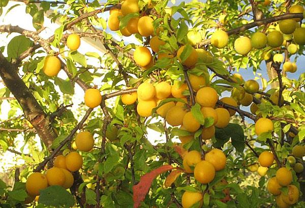 Крупные плоды ярко-желтого цвета гибридной сливы сорта Подарок Санкт-Петербургу