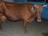 Продается корова на молоко