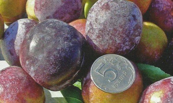 Крупные плоды селекционной сливы сорта Чебаркульская и пятирублевая монета