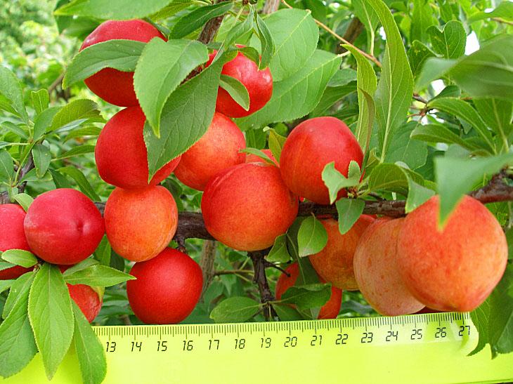 Ветки сливового дерева сорта Пионерка с плодами розово-оранжевого цвета