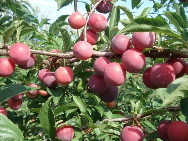Шаровидные плоды сливы сорта Содружество на ветке дерева в саду Урала