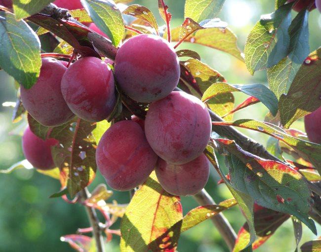 Бардовые плоды среднего размера сливы сорта Забавница для Уральского сада