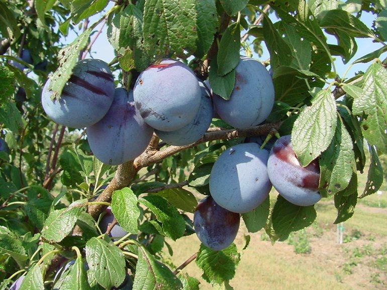 Ветка сливы с фиолетовыми плодами сорта Зареченская в саду Среднего Урала