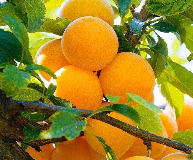 Ветка сливы с шарообразными плодами сорта Завет ярко-желтой окраски