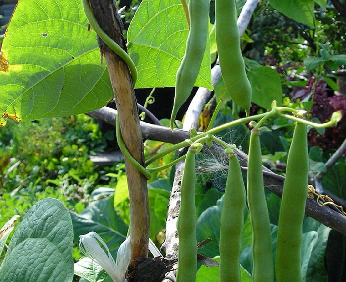 Выращивание и уход за спаржевой фасолью