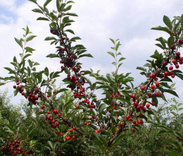 Вишня с плодами сорт Морозовка