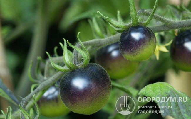 Черные томаты зарубежной селекции