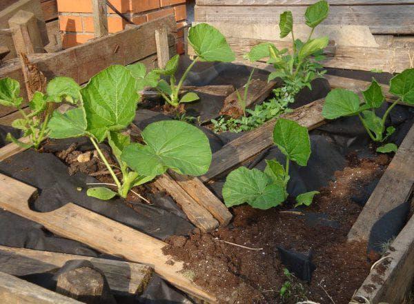 рассада тыквы на компостной куче